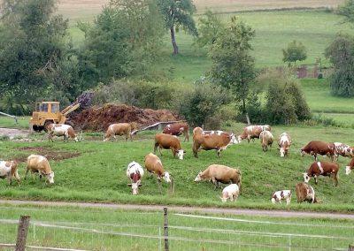 Kühe, Weide, Tiere, Freilauf