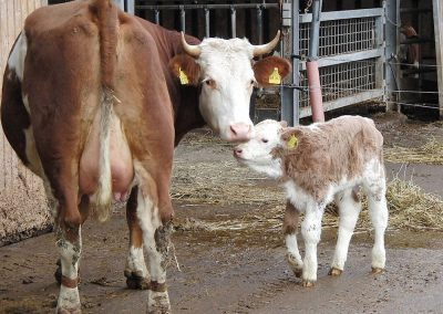 Kuh, Kalb, Hörner, Viehaltung